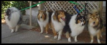 a group of ex Rescue Collies at a special effort fundraising day in NSW