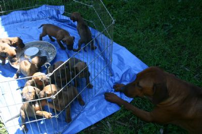 Disa looks on as the pups enjoy their first meal in the outdoors